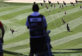 Kangaroos Invade Golf Course during LPGA Event in Australia
